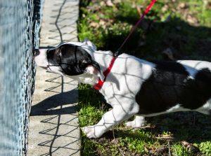 puppy behind chainlink fence